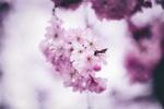 Обои Веточка цветущей вишни, by Oleg Magni