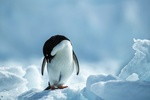 Обои Пингвин стоит на снегу