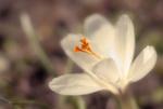 Обои Белый весенний крокус. Фотограф WENIK