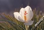 Обои Весенний белый крокус, фотограф WENIK