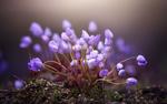 Обои Весенние лиловые цветочки среди мха, фотограф Tiger Seo