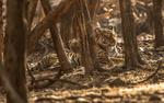 Обои Тигрица с тигренком в лесу, среди деревьев, фотограф Amag