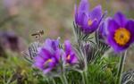 Обои Пчелка на цветами синей сон-травы, фотограф Viktoriya Bilan