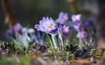Обои Синие цветочки сон-травы в солнечном свете, фотограф Галанзовская Оксана