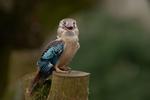 Обои Птичка на пне, синий крылатый кукабара, фотограф MARIA KULA