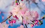 Обои Цветущая ветка яблони