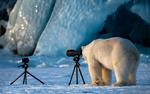 Обои Белый медведь стоит у фотокамеры