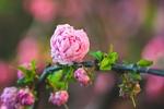 Обои Цветущая ветка сакуры на размытом фоне