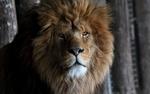 Обои Лев смотрит в камеру