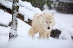Обои Белый волк под снегопадом