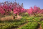Обои Цветущий персиковый сад в Крыму весной, фотограф Лузанов Вячеслав