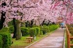 Обои Аллея с весенними цветущими деревьями сакуры