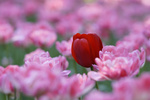 Обои Красный тюльпан среди розовых, by HongBo ZHOU