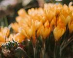 Обои Желтые весенние крокусы