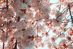 Обои Цветущие ветви сакуры, фотограф Jason Leung