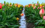 Обои Поле весенних тюльпанов после дождя