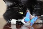 Обои Голубая бабочка сидит на носу черно-белой кошки
