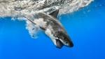 Обои Белая акула с открытой пастью под водой