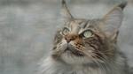 Обои Кошка породы мейн-кун смотрит вверх