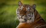 Обои Тигр лежит на размытом фоне природы
