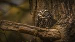 Обои Сова на дереве, by Jonnyfez