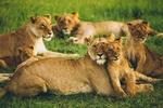 Обои Львиный прайд отдыхает на природе