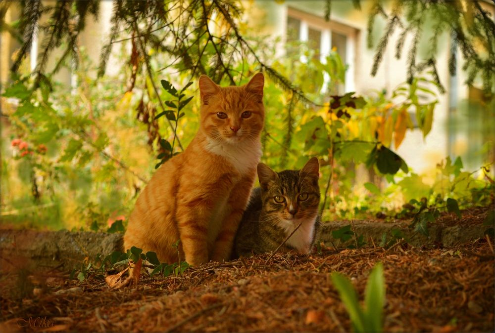 Обои для рабочего стола Две кошки отдыхают под елью на фоне дома и смотрят в камеру