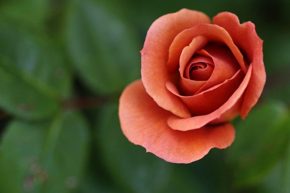 Обои для рабочего стола Красная роза на размытом фоне, by Yudysun Pratama