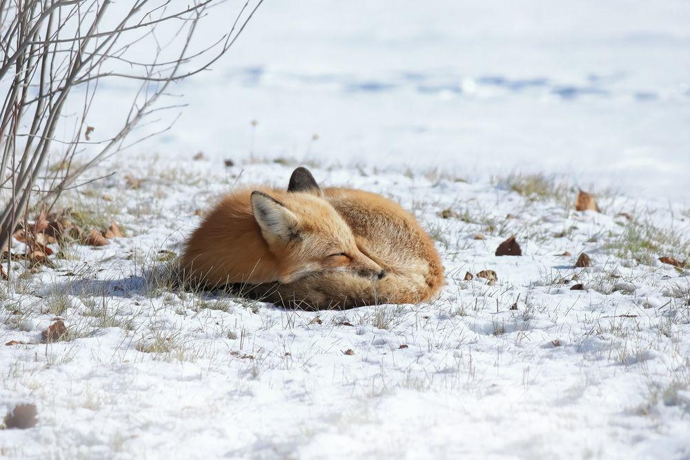 Обои для рабочего стола Лиса спит на снегу