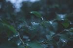 Обои Зеленые листья в капельках воды, by Joanna Malinowska