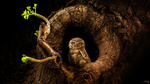 Обои Сова в дупле, by Sunil