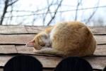 Обои Рыжая кошка спит на крыше, фотограф Adina Voicu