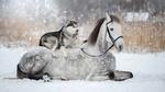 Обои Хаски отдыхает верхом на лошади, лежащей на снегу / Друзья, фотограф Светлана Писарева