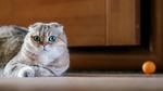 Обои Шотландский вислоухий кот лежит на полу