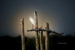 Обои Аист на деревянной перекладине на фоне неба, by Maringan Tobing