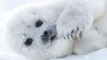 Обои Белек-детеныш тюленя лежит на снегу и смотрит в камеру