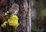 Обои Сова на дереве под дождем, by Robert John Jensen Photography