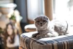 Обои Кошка породы шотландская вислоухая лежит на пуфике, by n8fire