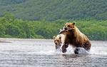 Обои Медведь с рыбой в пасти и рядом медвежонок в воде
