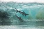 Обои Две акулы внутри волны океана, Australia / Австралия, фотограф Sean Scott