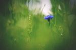 Обои Синий василек среди зеленой травы на размытом фоне