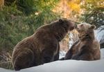 Обои Медвежья пара в зимнем лесу