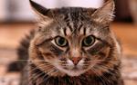 Обои Полосатый сибирский кот, фотограф Александр Мясников