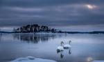 Обои Два белых лебедя на незамерзшем озере под вечерним пасмурным небом