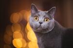 Обои Британская короткошерстная кошка на размытом фоне с бликами