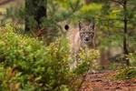 Обои Молодая рысь стоит в лесу и внимательно смотрит в камеру