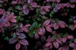 Обои Фиолетовые листья кустарника в каплях после дождя
