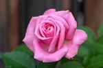 Обои Шикарная розовая роза на размытом фоне