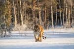 Обои Тигр идет по припорошенной снегом земле и смотрит в камеру