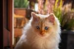 Обои Британская длинношерстная кошка с голубыми глазами